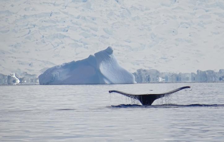 Walvis in Antarctica